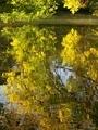 黄葉を映す@京都府立植物園