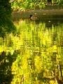 揺れる水面@京都府立植物園