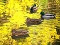 黄金の水面を泳ぐ@京都府立植物園