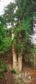 高さ日本一(62.3m)@花背の三本杉