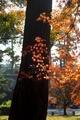 松の幹を彩る@京都御苑