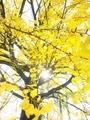 黄色の氾濫@京都御苑