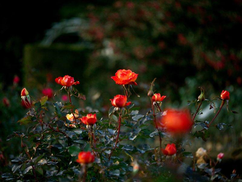 冬の薔薇@京都府立植物園