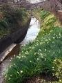 スイセン咲く疎水