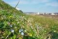 オオイヌフグリ咲く鴨川河川敷