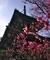 清涼寺多宝塔と紅梅