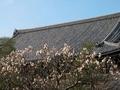 清涼寺に咲く梅