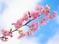 桜咲く@京都府立植物園