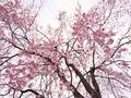降り注ぐ桜花@平野神社