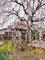 本満寺枝垂桜