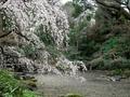 京都御苑糸桜