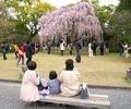 桜に集う@京都御苑