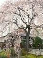 本満寺の桜@京都出町