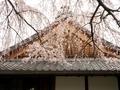 本満寺の桜2@京都出町