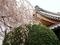 本満寺の桜3@京都出町