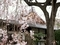 本満寺の桜4@京都出町