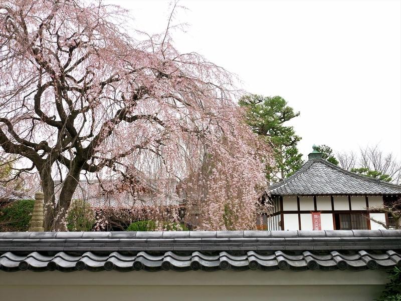 本満寺の桜5@京都出町