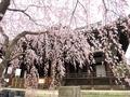 立本寺の桜2@京都西陣