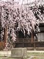 立本寺の桜3@京都西陣