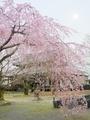 立本寺の桜4@京都西陣