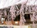 立本寺の桜5@京都西陣