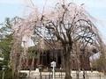 千本釈迦堂おかめ桜