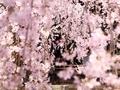 桜花暖簾@立本寺