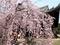立本寺枝垂れ桜