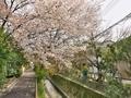 疎水分流山桜