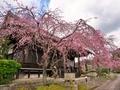 桜咲く妙満寺