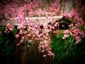 紅枝垂れ桜@妙満寺