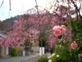 椿と桜@妙満寺