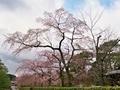 南禅寺周辺桜めぐり2
