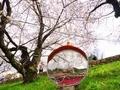 ミラーの中の桜見物@蹴上インクライン