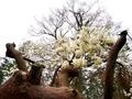 松倒木とハクモクレンのコラボレーション