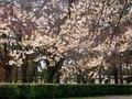 山桜咲く京都御苑