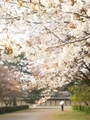 山桜咲く京都御苑2