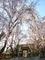 洛北松ヶ崎桜めぐり3