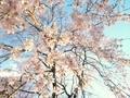 洛北松ヶ崎桜めぐり4