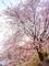 洛北松ヶ崎桜めぐり5