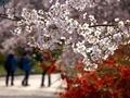 咲き誇る@京都府立植物園