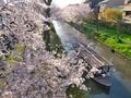 桜の中を行く十石舟@伏見