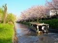 桜の中を行く十石舟2@伏見
