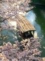 桜の中を行く十石舟3@伏見