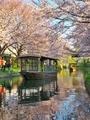 桜咲く伏見の運河2
