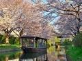 桜咲く伏見の運河3