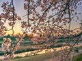 春の加茂川夕景