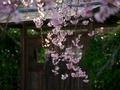 紅枝垂桜@妙満寺