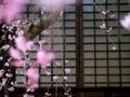 紅枝垂桜2@妙満寺