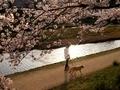 犬の散歩@加茂川